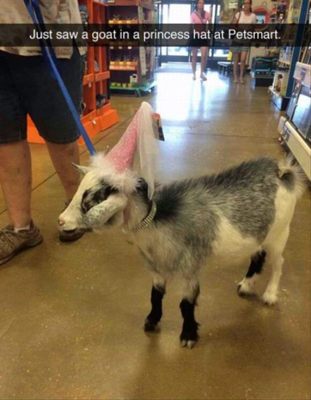 goat in a pricess hat in petsmart