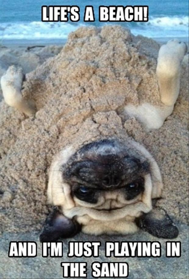 pug playing in the sand