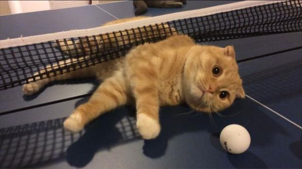 the cat loves ping pong