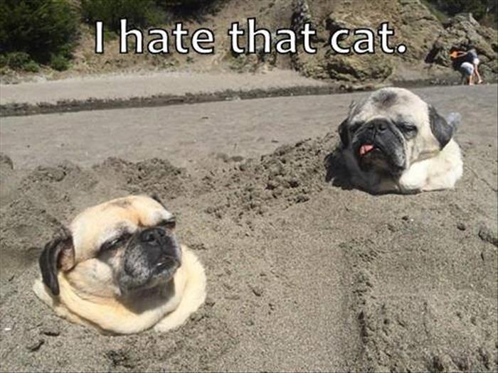 pugs hate cats