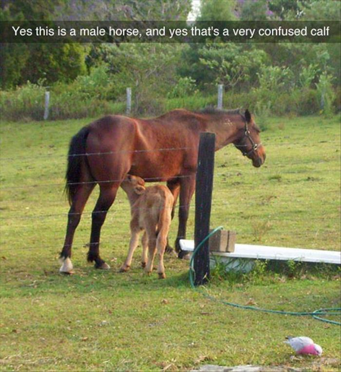 very confused calf