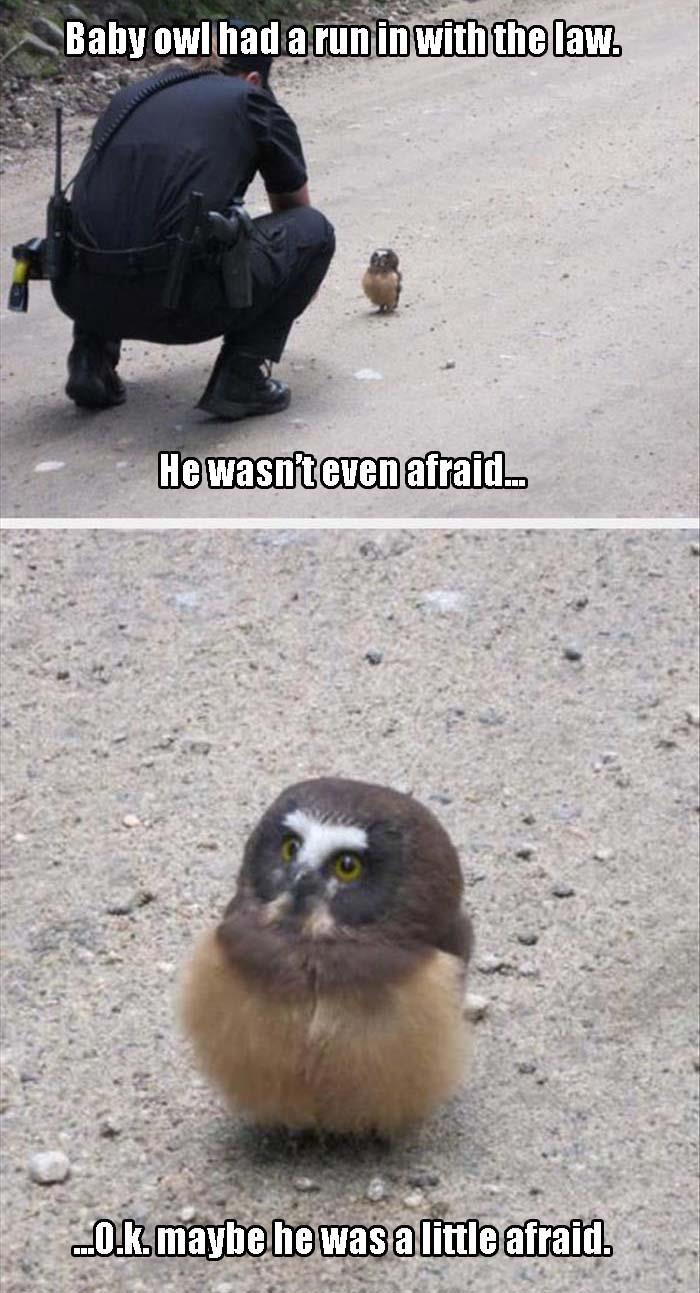baby owl is not afraid of the law ok maybe a little afraid