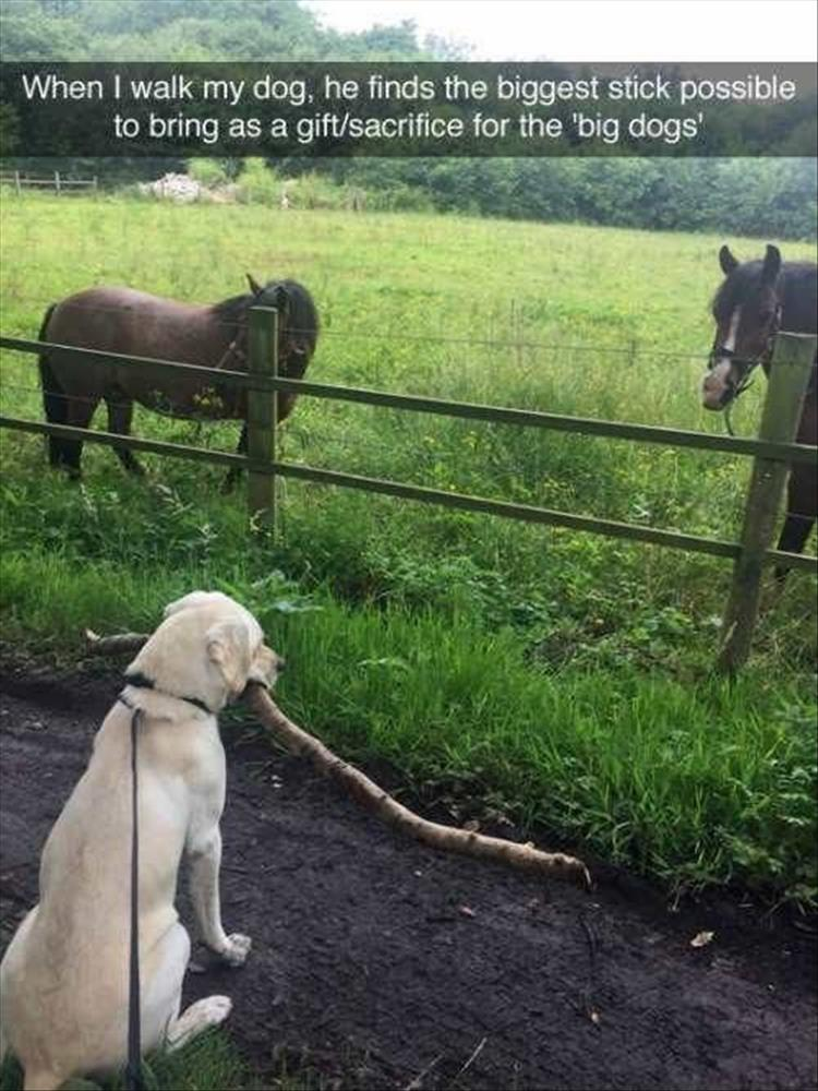 funny dog and big stick