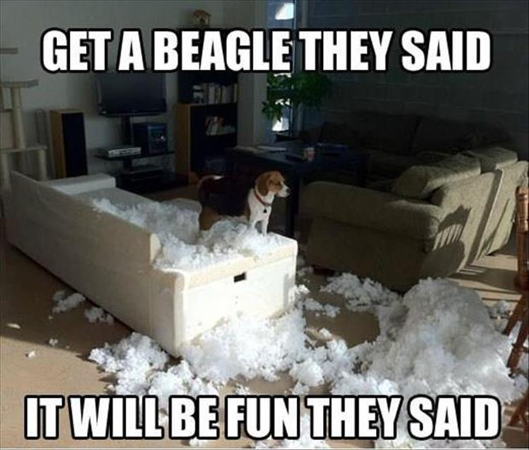 why you should get a beagle