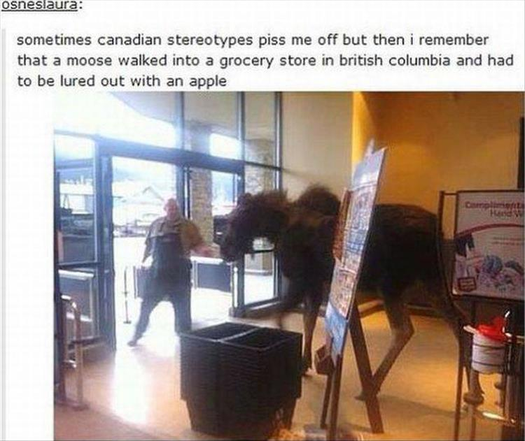 funny-canadian-moose