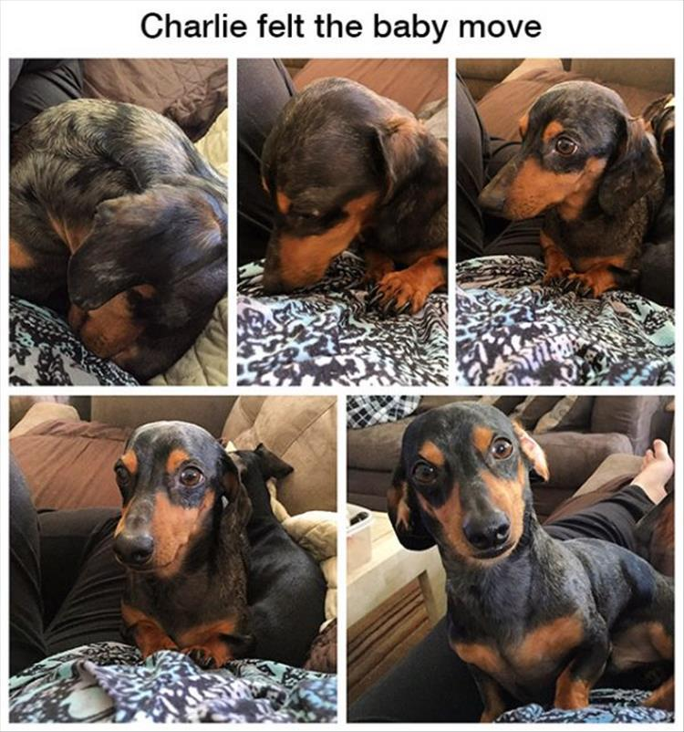 funny-dog-feels-the-baby-move