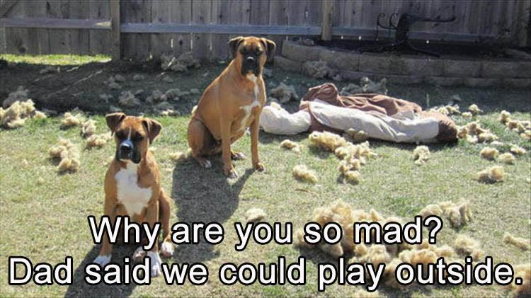 Funny Boxer Dog Meme : Funny animal pictures of the day 25 pics
